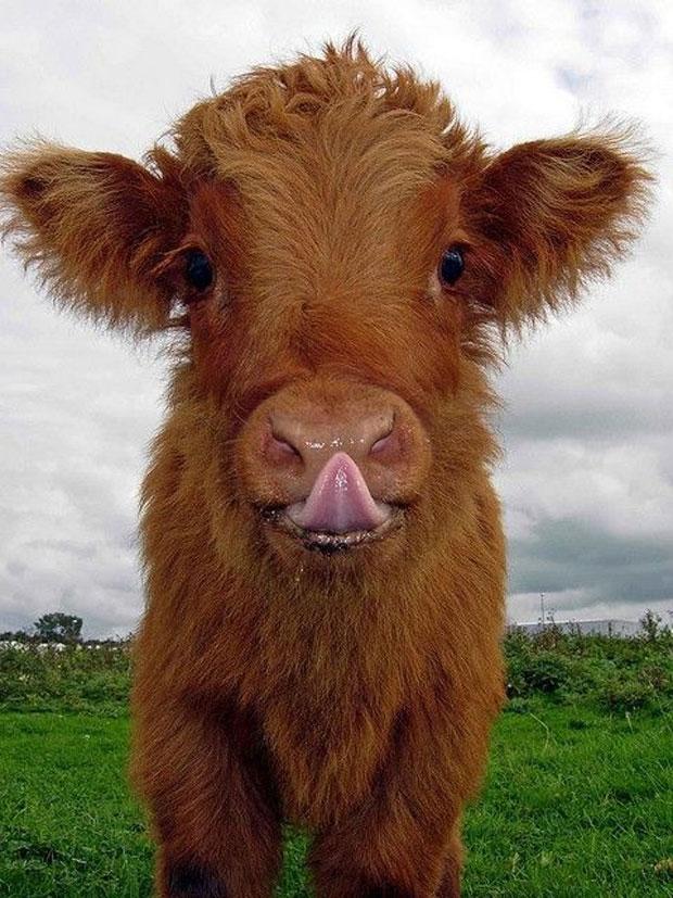photogenic-cow