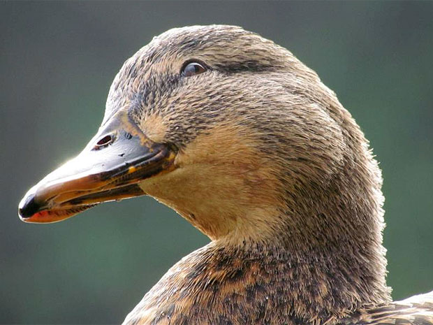 photogenic-duck