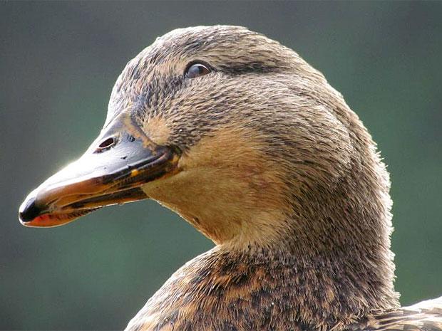 photogenic-duck