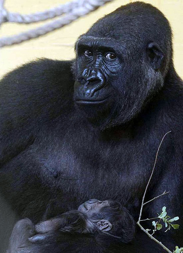photogenic-gorilla