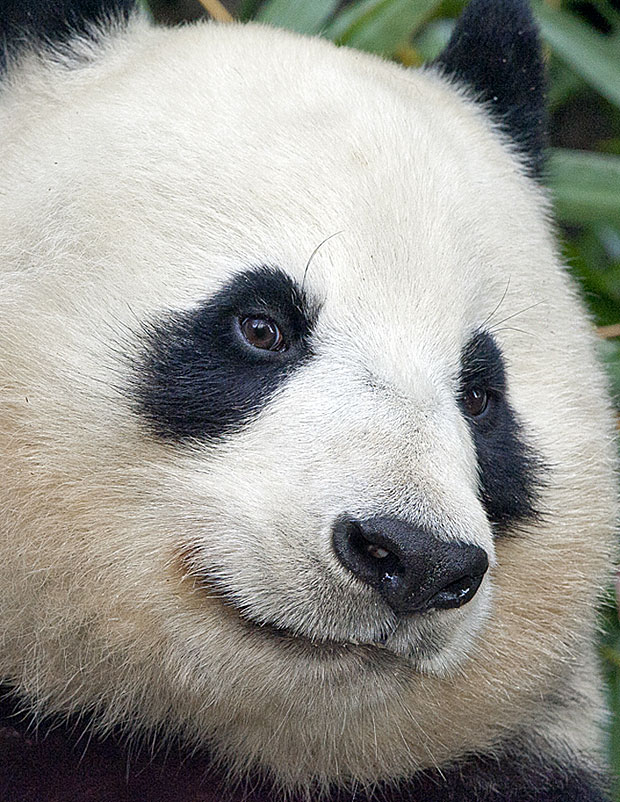 photogenic-panda
