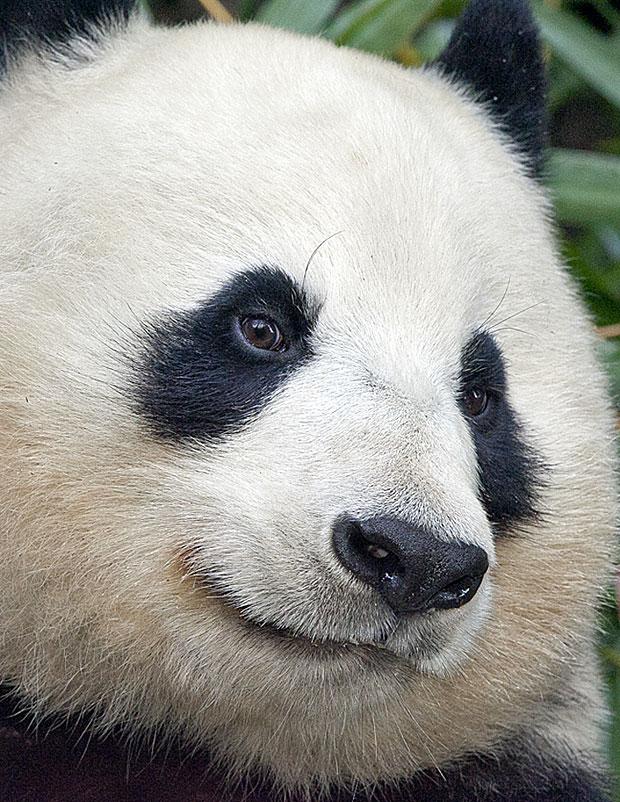 photogenic-panda