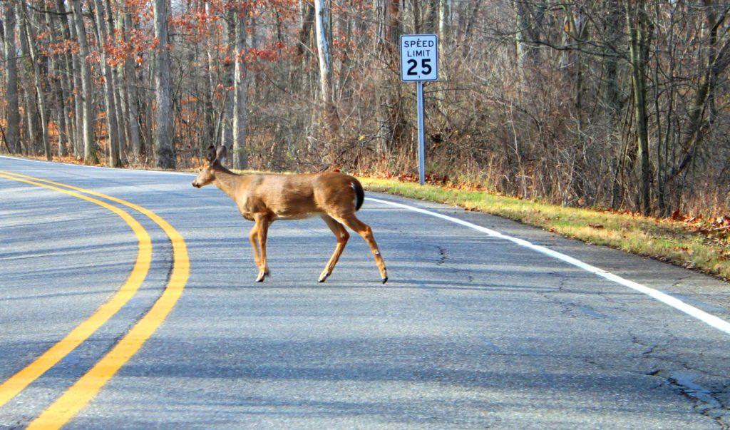 White-tailed_Deer_Crossing_a_Road_Kensington_Metropark_Michigan
