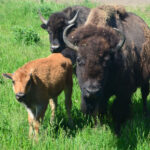Buffalo family group