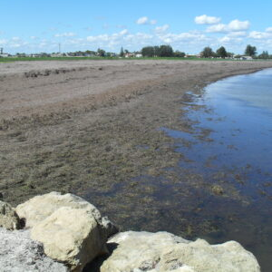 To show beach-cast algae at Kingston, South Australia