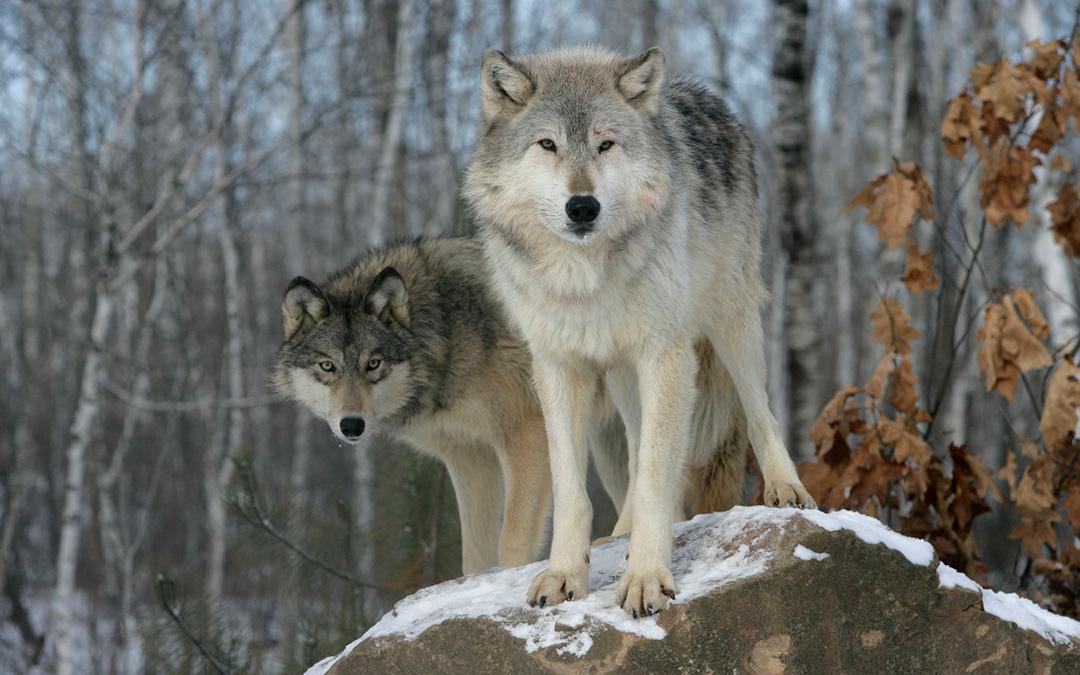 Internal Battle of the Wolves