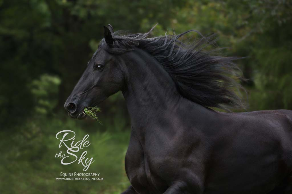 Friesian Horse at Liberty in Field