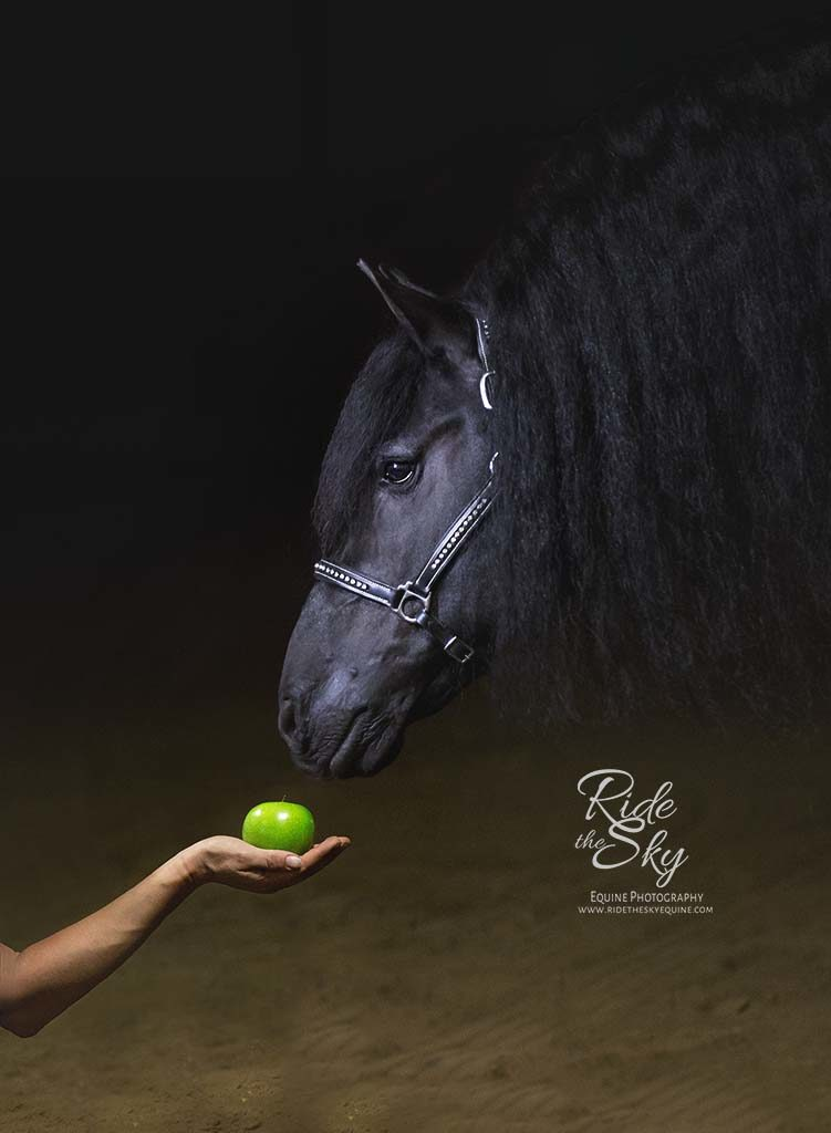 Black Background Portrait of Friesian Stallion with apple in Tennessee