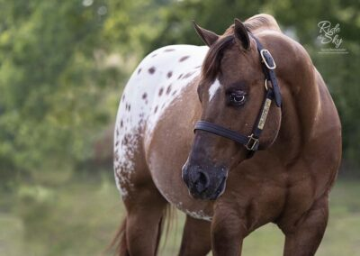 AQHA-ApHC-POA-Chocolatey-World-Champion-Stallion-RidetheSkyEquine