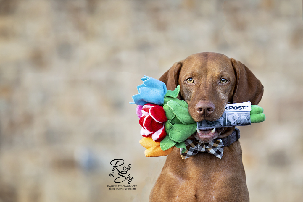 Vizsla Dog holding Flowers in his Mouth