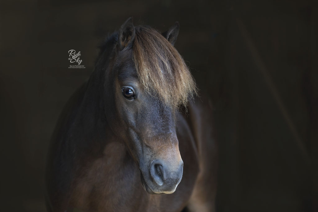 Mini Horse Portrait in Chattanooga TN