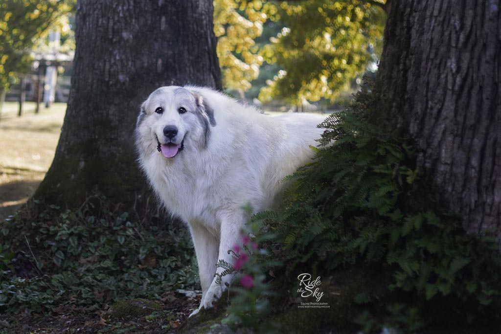 Boone, Great Pyrenees Dog standing in the trees