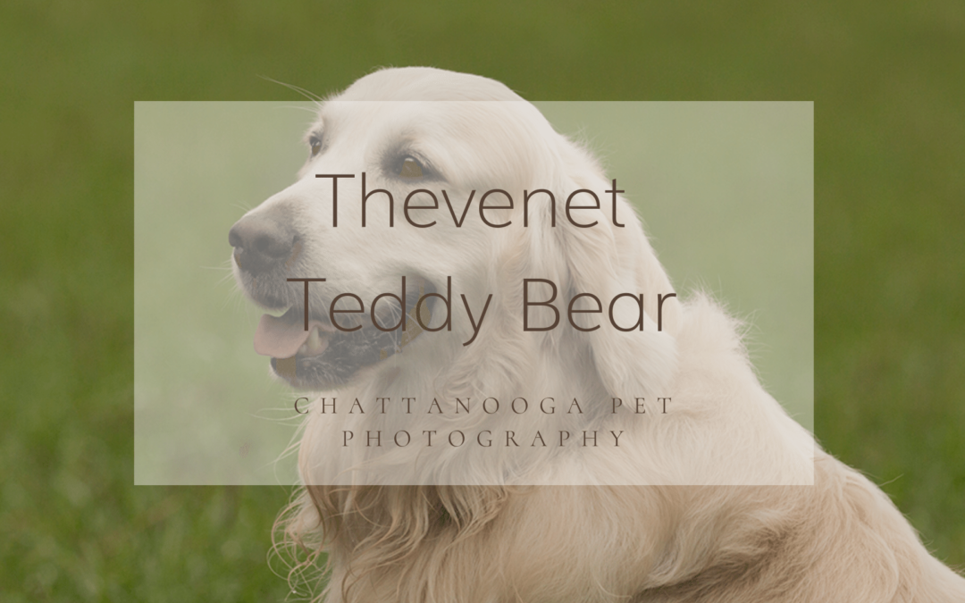 Chattanooga Pet Photographer: Thevenet Teddy Bear