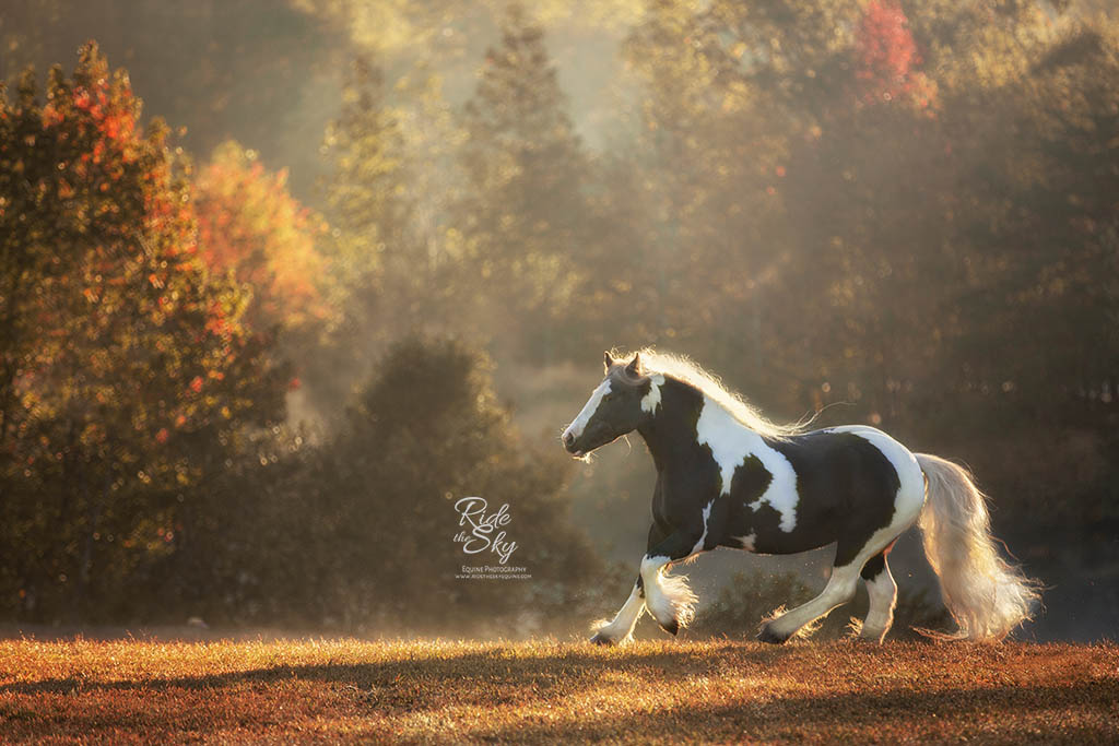 Gypsy Vanner in Field captured at a horse photography workshop
