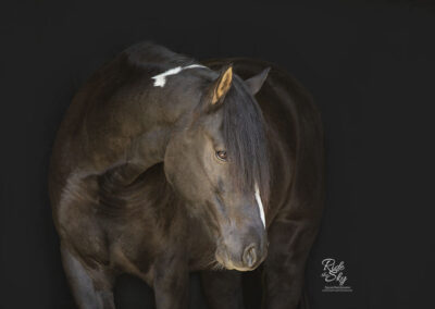 Thoroughbred-Horse-Black-Background-Chattanooga-Tennessee-RidetheSkyEquine