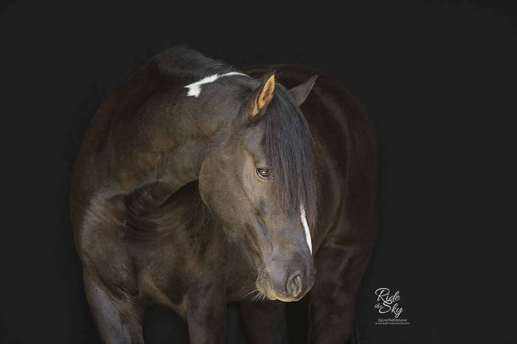 Tennessee Walking Horse Posed on Black Background