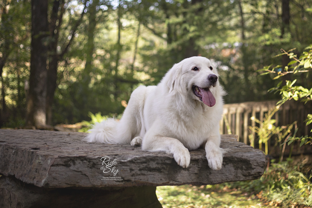 Outdoor Portrait of Great Pyrenees Dog at Black Fox Pet Resort in Cleveland, TN