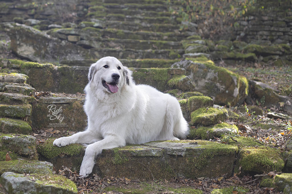 Great Pyrenees Dog on Stone Stairs in Chattanooga, TN