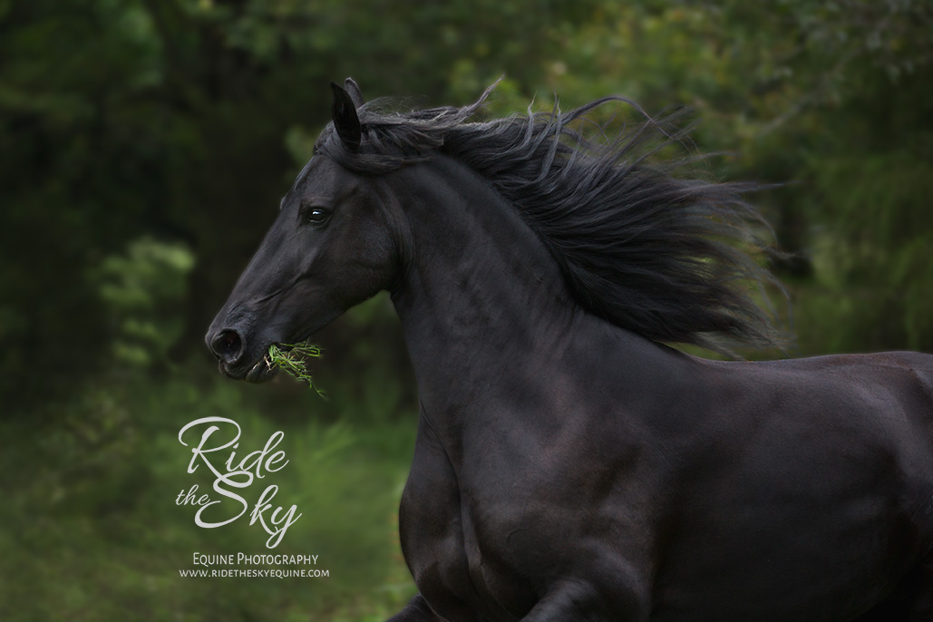 Friesian Horse with flying mane in field with mouth full of grass