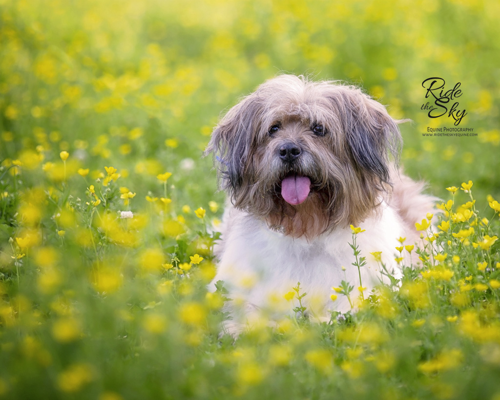 Dog photographed in yellow flower field in Chattanooga