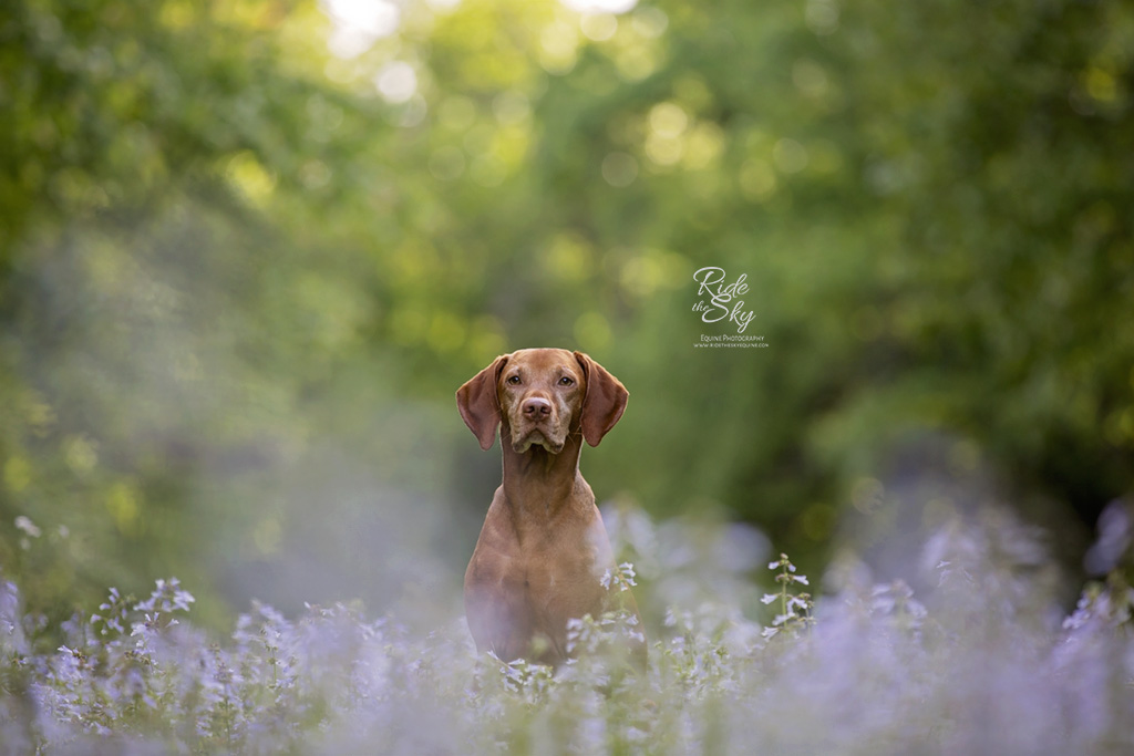 Vizsla Dog photographed in purple flower field