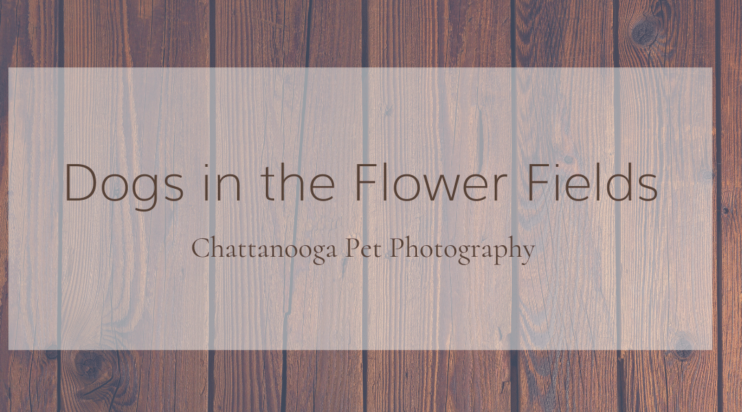 Chattanooga Pet Photography: Dogs in the Flower Fields