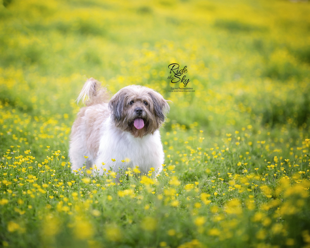 Dog photographed in yellow flower field