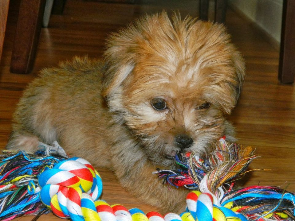 rambo-the-puppy-3