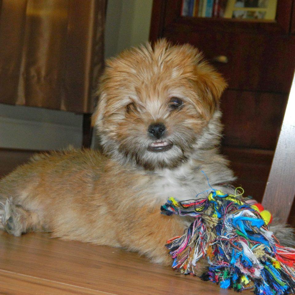 rambo-the-puppy