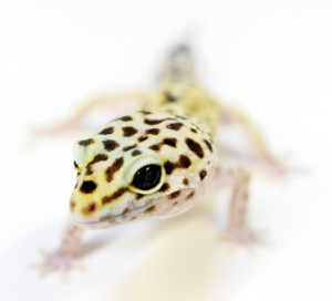 Leopard Gecko- for history page