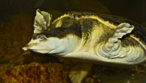 florida soft shell turtle