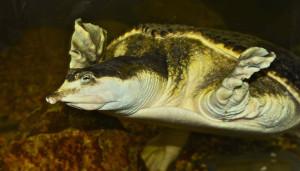 Florida Soft Shell turtle - Native to southern USA