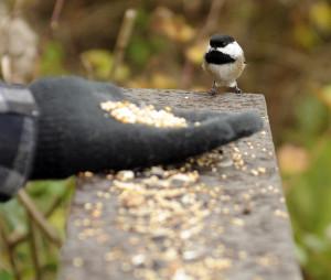 Feeding Chickadee on a field trip to Reifel Bird Sanctuary