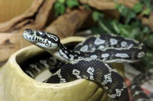 diamondback carpet python