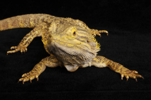 Bearded Dragon-