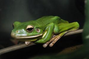 Giant White Lip Tree Frog - native to Australia