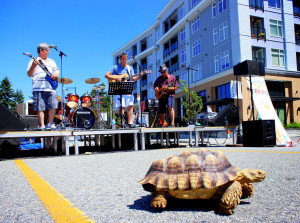 African Spur Thigh Tortoise - Commercial Drive Car Free