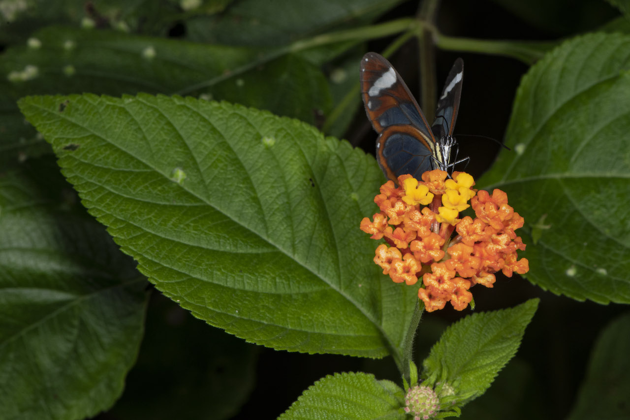 Lantana with Buttefly