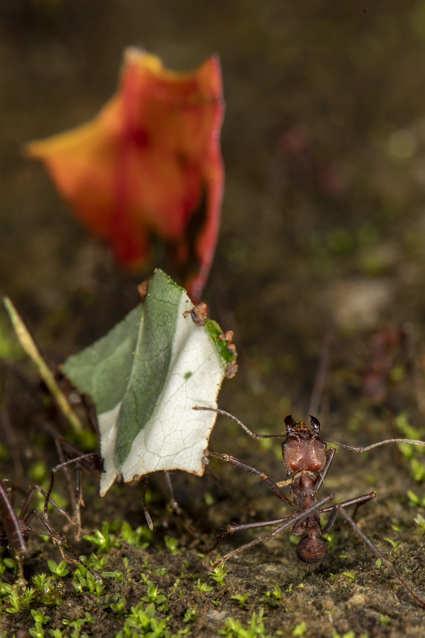 LeafCutting Ant Soldier