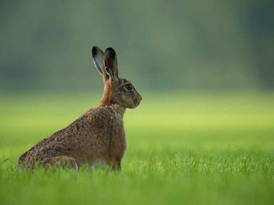 brown rabbit standing on green grass field