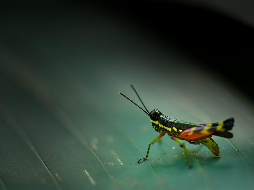 green and orange Eastern lubber grasshopper