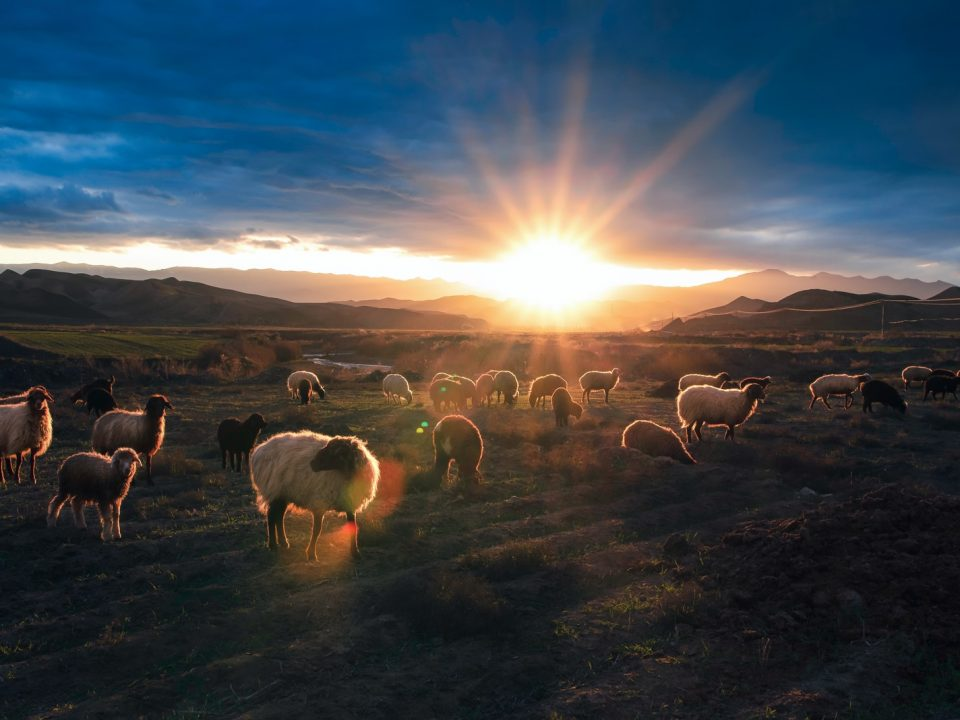 herd of sheep on field during daytime