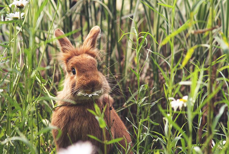 Rabbit eating a daisy at a local wildlife sanctuary park