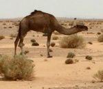 Camel in rock desert