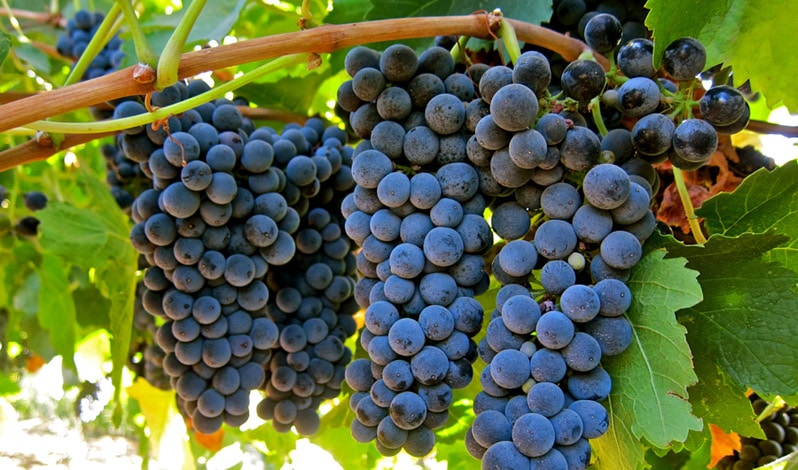 petite syrah grapes