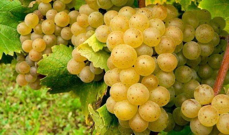 rhone wine berries in California