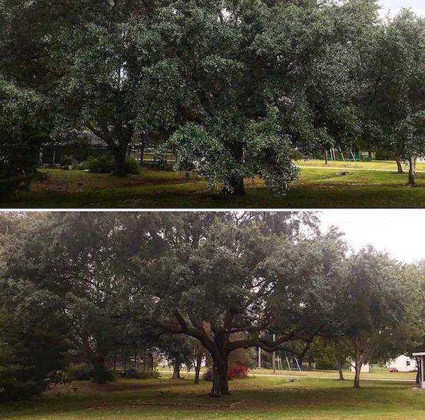 Oak Tree Trimming by Kats Tree Service