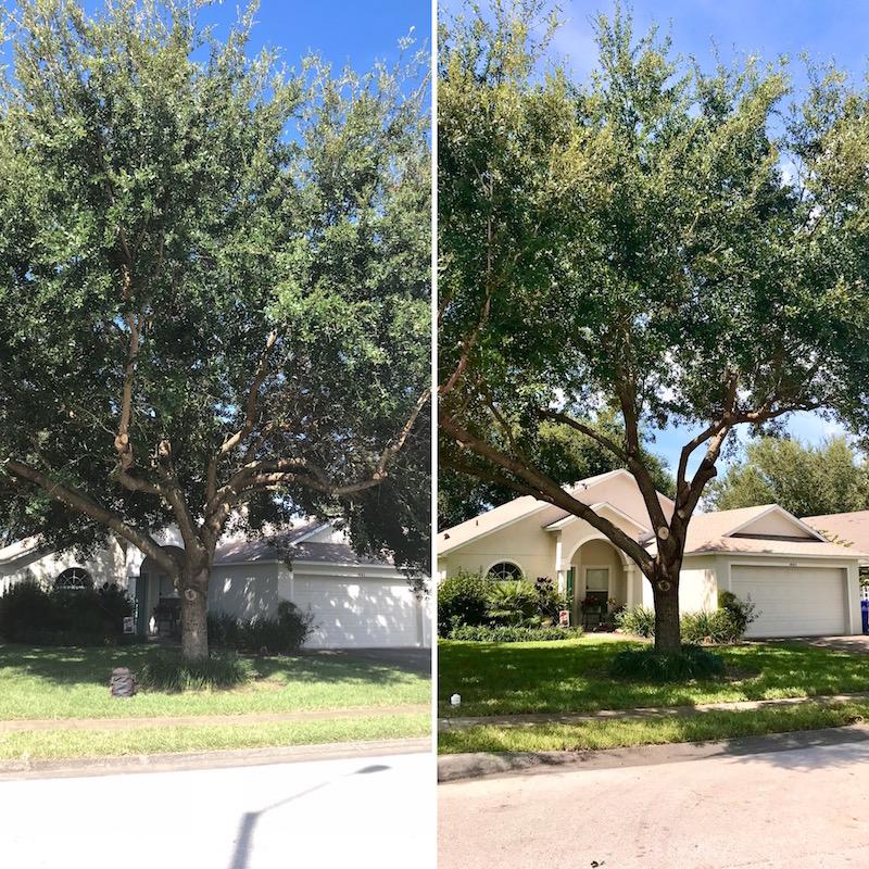 Oak Tree Trimming in Tavares,FL by Kats Tree Service
