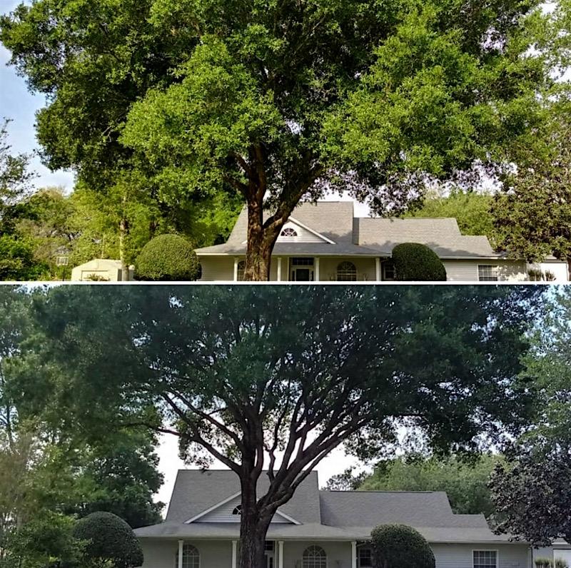 Oak Tree Trimming in Sorrento,FL (Rolling Oaks)