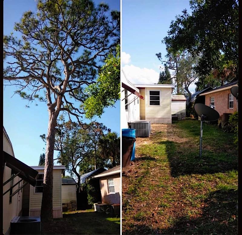 Pine Tree Removal in Tavares, FL